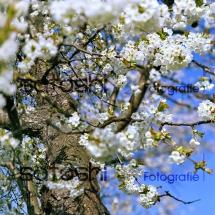 Kirschblüte - Satoshi Fotografie